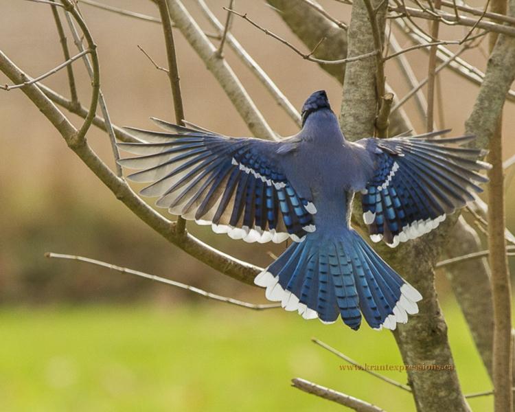 wildlife photography of Blue Jay